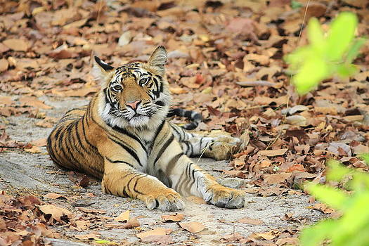The young Cub by Anuradha  Marwah
