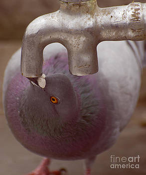 Thirsty Pigeon by Patty Descalzi