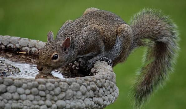 Thirsty Squirrel  by Alexander Spahn