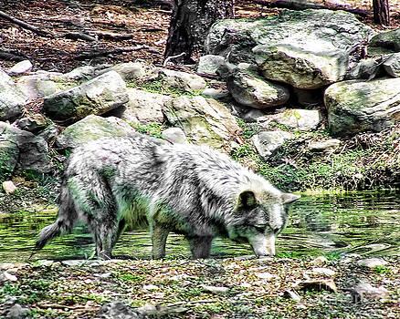Anne Ferguson - Thirsty Wolf