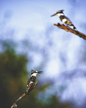 Paul W Sharpe Aka Wizard of Wonders - This is Botswana No. 10 - Pied Kingfisher - Ceryle rudis