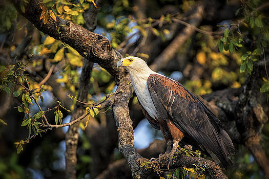 Paul W Sharpe Aka Wizard of Wonders - This is Botswana No.  2 - African fish-eagle