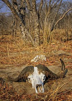 Paul W Sharpe Aka Wizard of Wonders - This is Botswana No.  4 - Cape Bison Skull