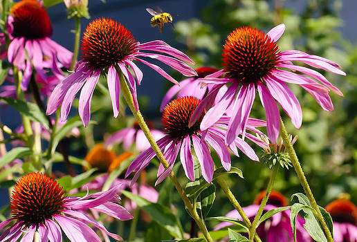 Paul W Sharpe Aka Wizard of Wonders - This is British Columbia No.59 - Cone Flowers in Their Prime