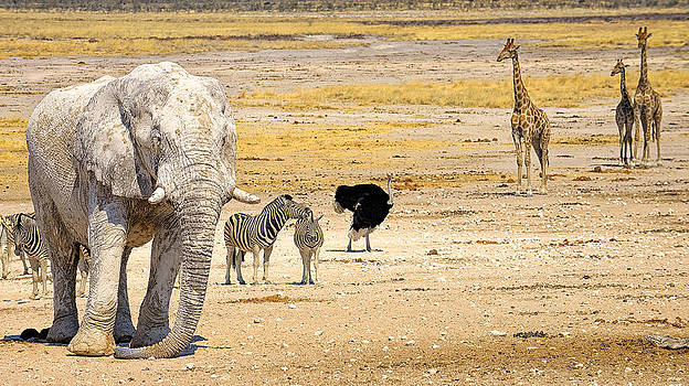 Paul W Sharpe Aka Wizard of Wonders - This is Namibia No. 10 - Etosha White African Elephant