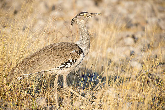 Paul W Sharpe Aka Wizard of Wonders - This is Namibia No. 13 - The kori bustard