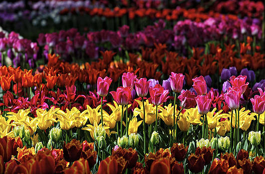 Paul W Sharpe Aka Wizard of Wonders - This is our World No. 11 - Pink Tulips Stand Tall