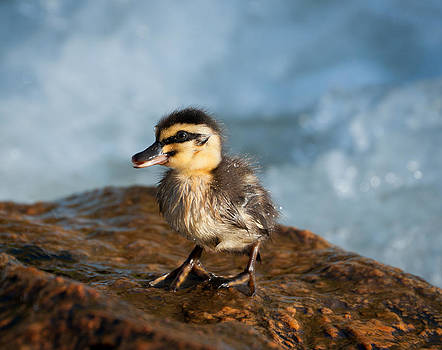 This Little Duck by Heather Thorning