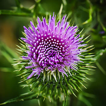 Thistle Number Two by Michael Putnam