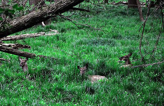 Three Deer Laying Low by Shawn Davis