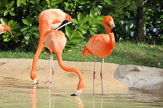 Three Flamingos by Shweta Singh
