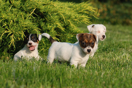 Waldek Dabrowski - Three Jack Russell Terrier puppies