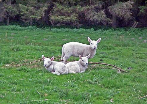 Three Lamb in Ireland by Valerie Longo
