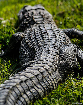 Three Legged Gator by Erik Hovind