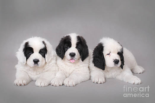 Waldek Dabrowski - Three Little Landseer puppies portrait