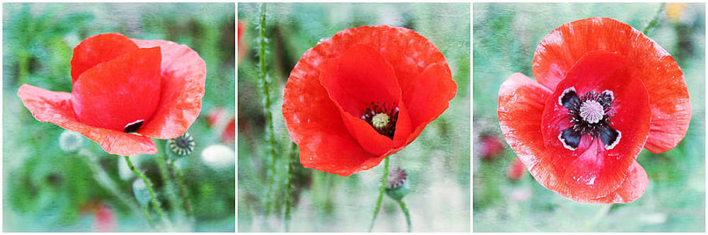 Three Poppies by Cathie Tyler