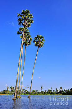 Three Sugar palm by Tawatchai Sanajai