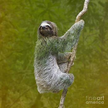 Heiko Koehrer-Wagner - Three-Toed Sloth climbing