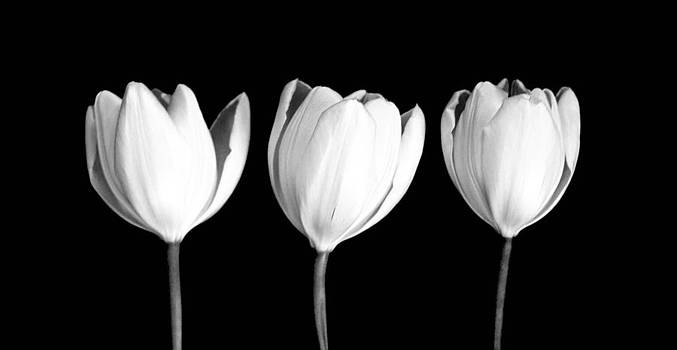 Three Tulips  by Stephen Walker