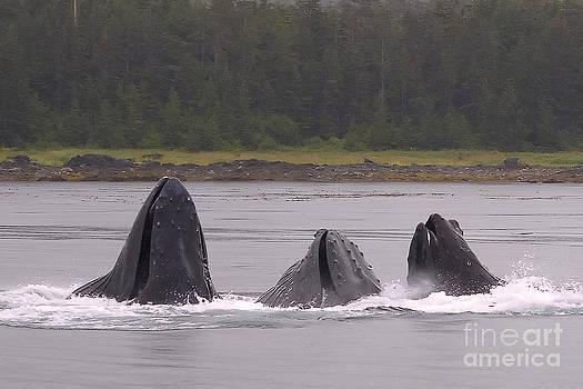 Darcy Michaelchuk - Three Whales Feeding