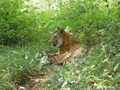 Tiger 2 by Priya Arun