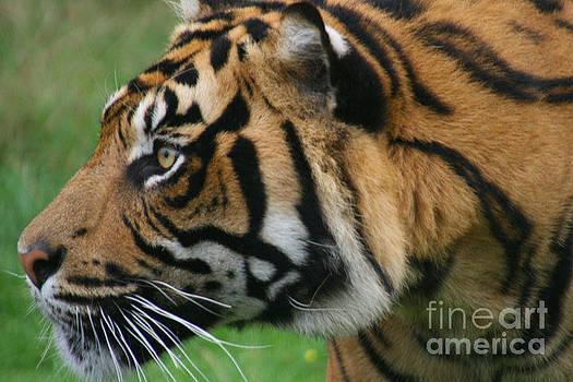 Tiger by Carol Wright