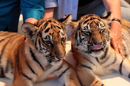 Tiger Cubs by Andrei Fried