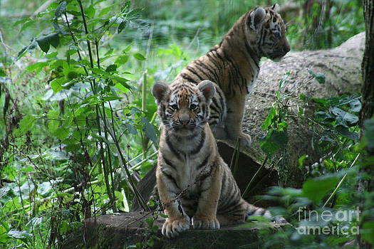 Tiger cubs by Carol Wright