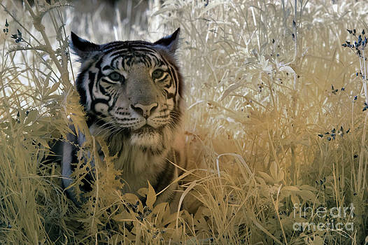 Keith Kapple - Tiger in Infrared