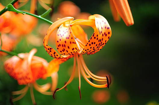 Tiger Lily by Tor  Johannessen