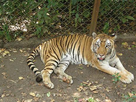 Tiger  by Priya Arun