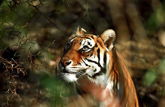 Tiger Stare by Kurt Weiss
