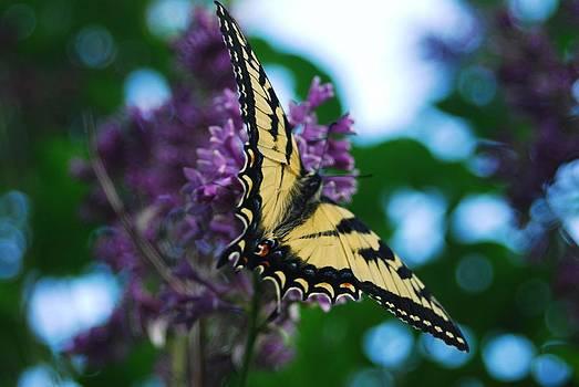 Tiger Swallowtail 1 by Crissy Sherman
