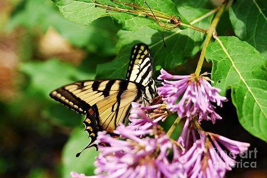 Tiger Swallowtail 2 by Crissy Sherman