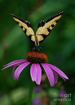 Joy Bradley - Tiger Swallowtail Butterfly