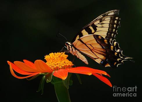 Joy Bradley - Tiger Swallowtail Butterfly Landing