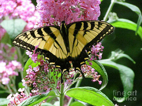 Tiger Swallowtail Butterfly by Randi Shenkman