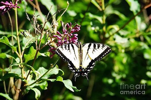 Tiger Swallowtail  by Crissy Sherman