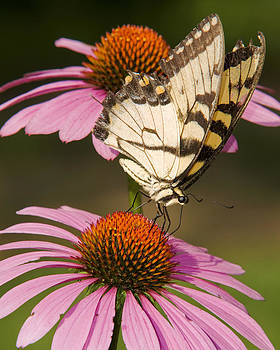 Tiger Swallowtail by Ron  McGinnis