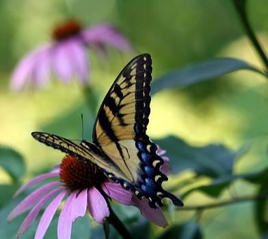 Tiger Swallowtail by Sharon Spade - Kingsbury