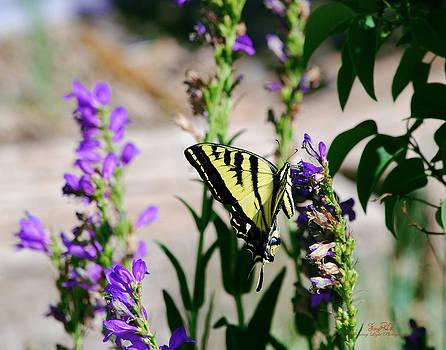 Tiger Swallowtail  by Sheryl Cox