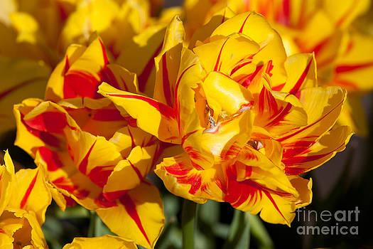 Tiger Tulip by Bdsmalley