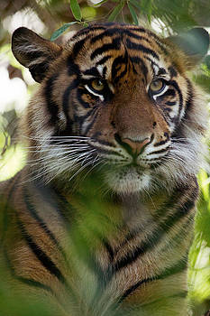 Tiger Watching by Lindy Spencer