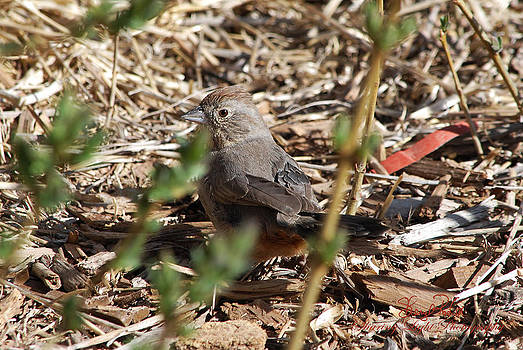 Timid Towhee by Sheryl Cox