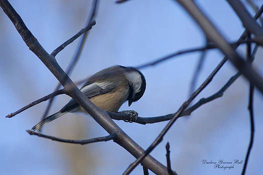 Darlene Bell - Tired Chickadee