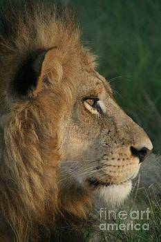 Tired lion by Carol Wright