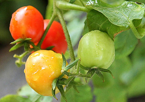 Tomatoes on The Vine by Terry Jorgensen