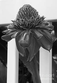 Mary Deal - Torch Ginger in Black and White