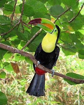 Toucan by Diana McClure