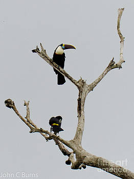 Toucans in the Trees by John Burns
